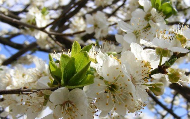 cherry-plum-fleurs-de-bach-vanessa-wenger-naturopathe