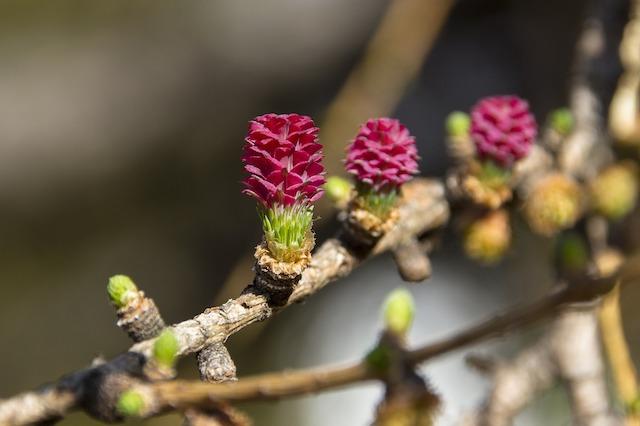 larch-fleurs-de-bach-vanessa-wenger-naturopathe-la-chapelle-sur-erdre